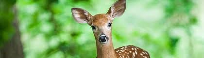 4 natural remes to keep deer out of
