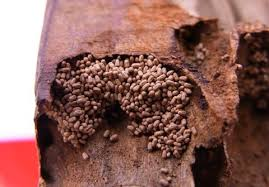 Image result for drywood termite control