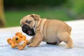cute baby bulldog. Plain Cute Bulldogpuppycutedogphotography36__605 With Cute Baby Bulldog A