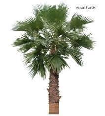 fan palm trees. large california fan palm tree trees l