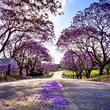 Jacaranda Trees Australia Travel Brisbane Gold Coast
