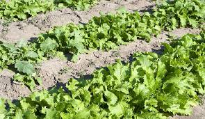 drought tolerant vegetable garden