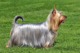 silky dog. the silky terrier dog breed exemplifies expression \u201csmall dog, big personality.\u201d weighing just eight to 10 pounds when full grown, he\u0027s tough and dogtime
