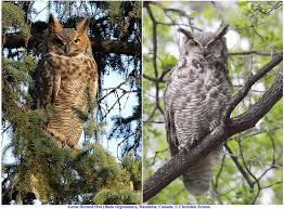 owl pictures to colour in. Wonderful Owl Often Perceived As A Threat To The Young Instead Of Potential Snack  If You Are Wondering Both Photos Taken At Distance Greater Than 50 For Owl Pictures To Colour In