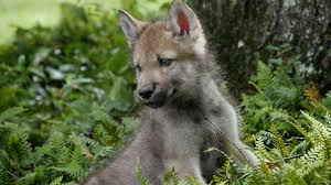 cute baby wolf howling. Modren Howling Cute Baby Wolf Pups Go Outside For The First Time And Howling W