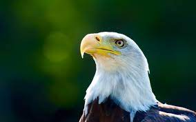 Eagle head close-up, white feathers ...