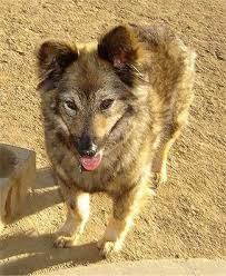 german shepherd coyote mix. Contemporary Coyote Sacchetto The Coydog Is Standing In Dirt Front Of A Concrete Step Her  Mouth Domestic Dog  Coyote Hybrid For German Shepherd Coyote Mix O