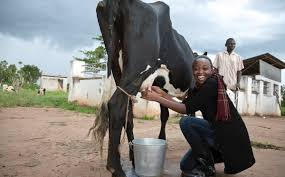 miss uganda beauty contest demands contestants milk a cow modern  miss uganda beauty contest demands contestants milk a cow