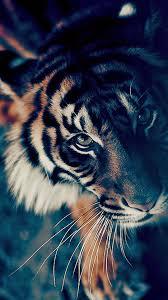 tiger iphone wallpaper.  Iphone Bengal Tiger Closeup IPhone 6 Wallpaper Intended Iphone Wallpaper Pinterest