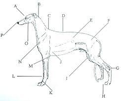 A Humorous Look At The Greyhound Anatomy Greyhound