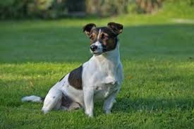 black and white jack russell terrier mix. Delighful Jack Jack Russell Terrier On Black And White Mix