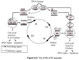 essay on cell cycle for school and college students cell biology the atm atr cascade