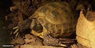 Basic Information Sheet Russian Tortoise Lafebervet