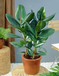 Ficus Elastica (Rubber Tree Plant)  bright light, let soil dry to light