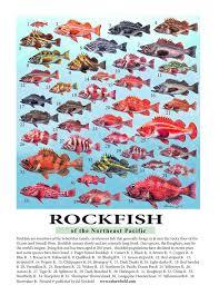 Rockfish Identification Chart 386 Rockfish Mini Poster