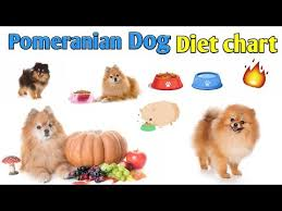 Pomeranian Puppy Feeding Chart Pomeranian Dog Diet Chart In Hindi Pomeranian Dog Diet
