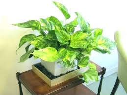 Small plant for office desk Stress Relief Office Desk Plants Office Desk Plants Small Desk Plants Lovely Good Desk Plants Indoor Plant For Office Desk Small Indoor Office Plants Office Desk Plants Colombiatravelinfo Office Desk Plants Office Desk Plants Small Desk Plants Lovely Good