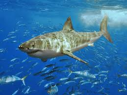 shark attack on humans. Fine Humans Intended Shark Attack On Humans A