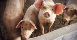 African <b>swine</b> fever - the virus prohibiting progress in West Africa's ...