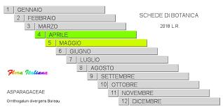 Ornithogalum divergens [Latte di gallina divergente] - Flora Italiana