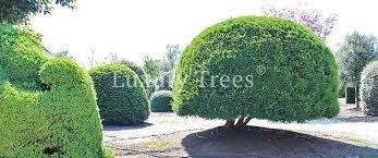 Sichtschutz Aus Pflanzen F R Garten Terrasse Luxurytrees