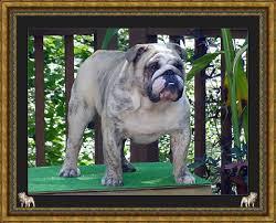 tyson akc chion english bulldog stud