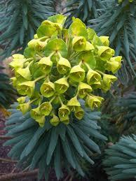 Euphorbia characias – Wikipédia