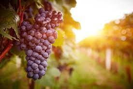 Grapes Farming