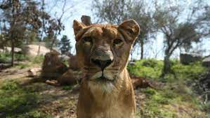 Buin zoo, on the outskirts of the capital santiago, is ordinarily one of the city's top attractions but it is struggling to stay afloat in an extraordinary year. Chilean Zoo Looks For Animal Godparents To Help Meet Expenses Trending Hindustan Times