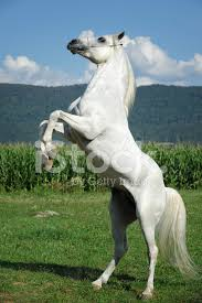 white horse rearing. Unique Horse Premium Stock Photo Of White Horse Rearing UP IN Summer Field For G