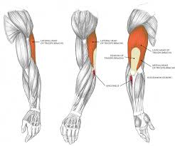 Don't confuse the biceps brachii, the formal name for the biceps muscles in the arm, with the biceps femoris, which is part of. Muscles Of The Arm And Hand Classic Human Anatomy In Motion The Artist S Guide To The Dynamics Of Figure Drawing