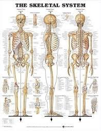 Skeletal System Poster 66x51cm Anatomical Chart Skeleton Medical New Ebay