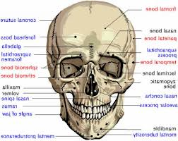 picture of human head showing bones head bones anatomy human    picture of human head showing bones head bones anatomy human anatomy diagram