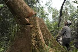contribution global power in motion hariyanto manalu chops down a tree to clear forest in preparation for the expansion of the