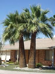 fan palm trees. california fan palm trees