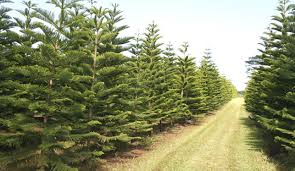 WHITMORE VILLAGE  Helemano Farms, local grower of thousands of Christmas  Trees ...