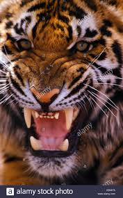 tiger face growling. Modren Face Tiger Growling Portrait Face Teeth Aggressive To Face Growling