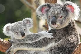 the koala s cry for help rainforest rescue