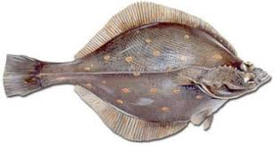Image result for plaice