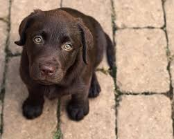 chocolate lab puppies wallpaper. Perfect Chocolate Inside Chocolate Lab Puppies Wallpaper E