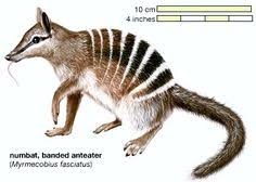 Small Picture free Numbat coloring page Aussie 12 days of xmas Pinterest