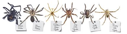 Which Is Worse The Brown Recluse Spider Or The Near Mythic Fear It