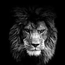 lion roaring black and white. Contemporary Roaring Lion Roaring Wallpaper Wwwpixsharkcom Images 1600x1600 In Black And White F