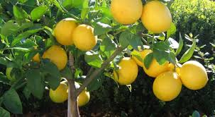Image result for meyer lemons