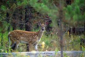 Fawn Age Chart Whitetail Facts 16 Things To Know About Fawns Outdoor Life
