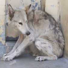 emaciated wolf. Interesting Emaciated WOLF Sanctuary With Emaciated Wolf Honest To Paws