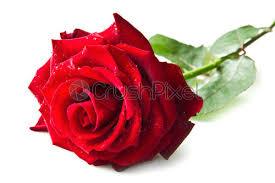 single red rose flower stock photo