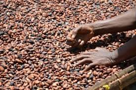The average coffee tree produces 10 pounds of coffee cherry per year, or 2 pounds of green beans. Is Coffee And Chocolate Both Made From Cocoa Beans Quora