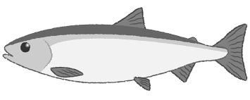 鮭魚フリーイラスト素材無料商用利用可 もってけ上田の