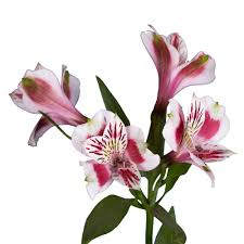 globalrose fresh alstroemeria flowers 80 stems 320 blooms